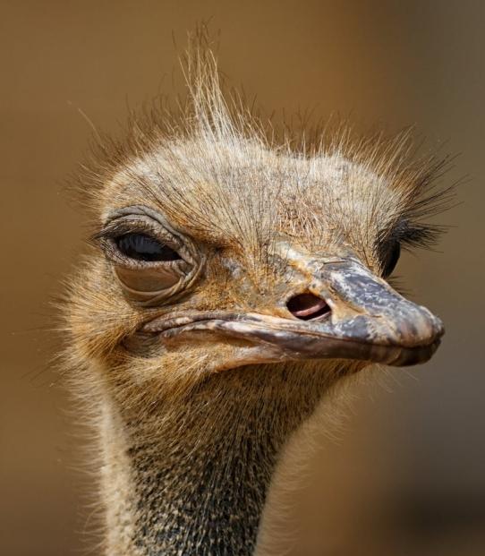 brown ostrich